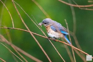 E. Bluebird (F)