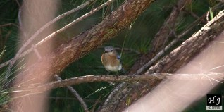 2- Female E. Bluebird awaits sheltered in a pine tree.