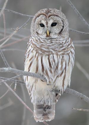 Image result for barred owl