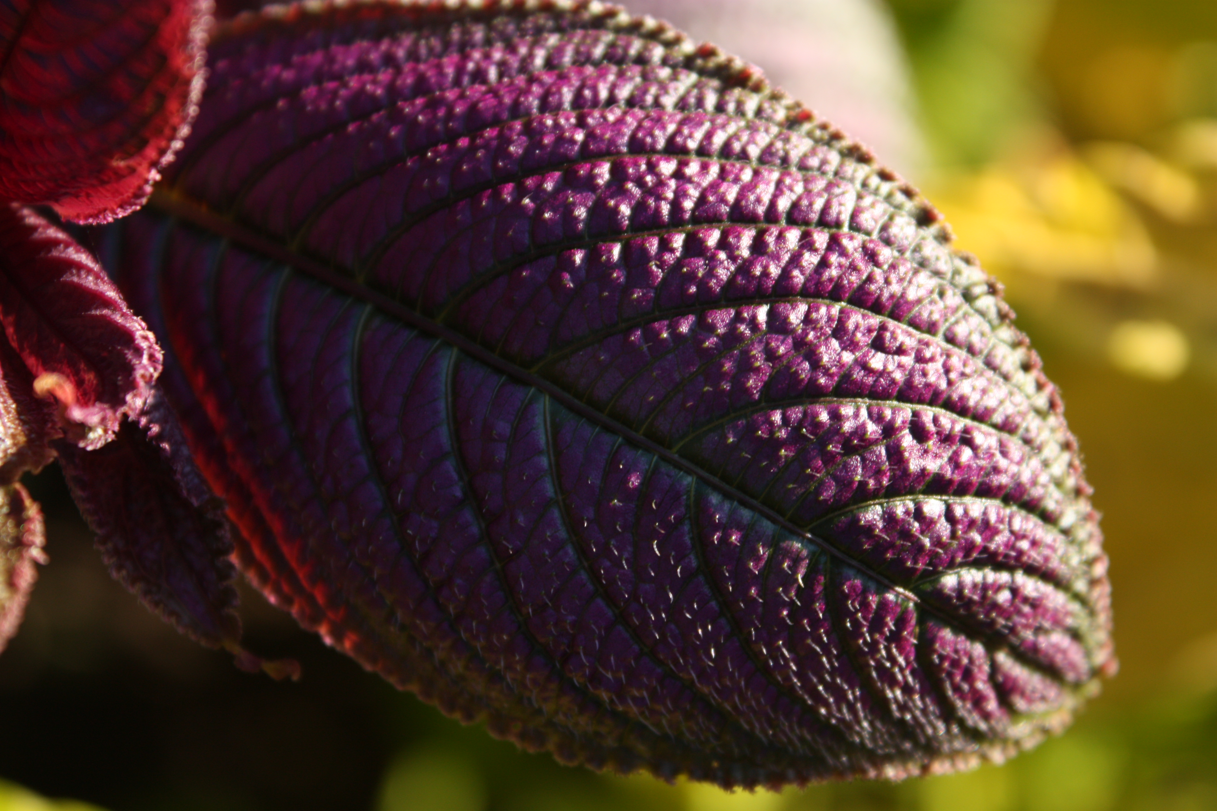 Persian Shield (Strobilanthes), sidelit, with yellow coleus in background