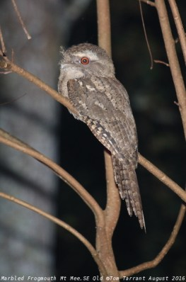 Marbled Frogmouth