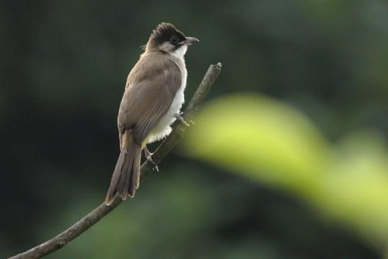 Pycnonotus xanthorrhous