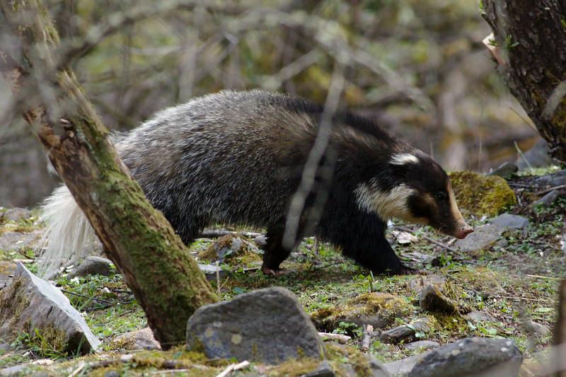 Hog-nosed Badger