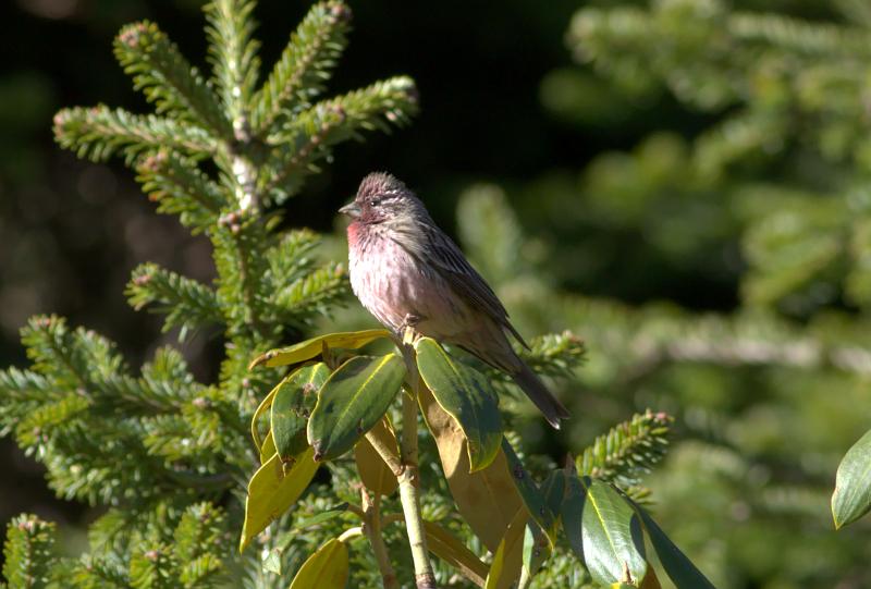 Pink-rumped Rosefinch