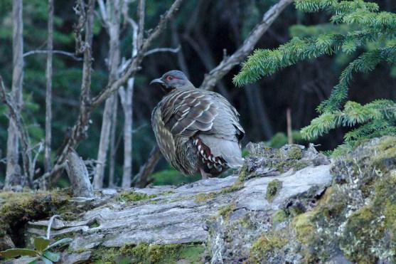Chestnut-throated Monal-Partridge