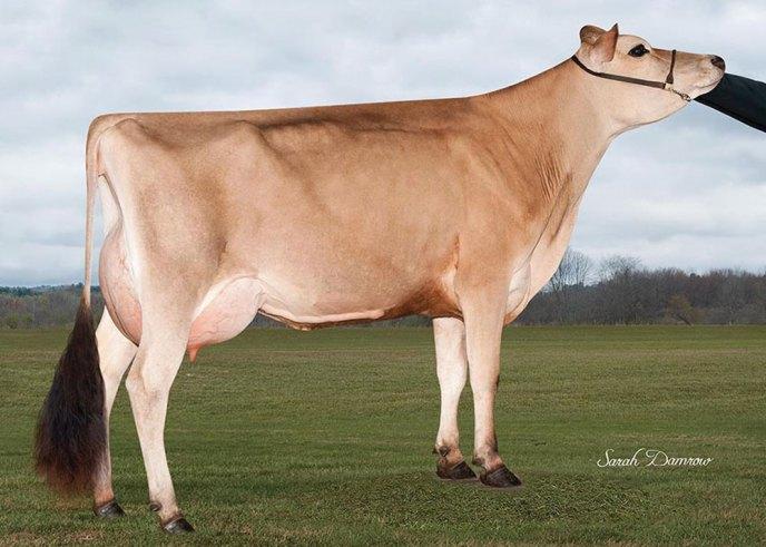 Granddaughter of Vandyke Daisy: </br> Avi-Lanche Magnum Daisy 13334, </br> 88%, GJPI +113, JH1C JH2F, </br> GPTA +1009M +39F +36P (2/18), </br> 1-7 305 17,370 3.9% 674 3.3% 575, </br>