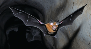 Flying Horseshoe Bat
