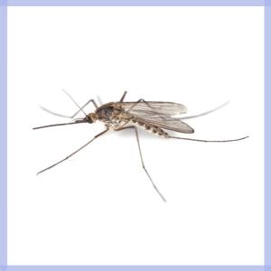 sintomi malattie puntura di zanzara