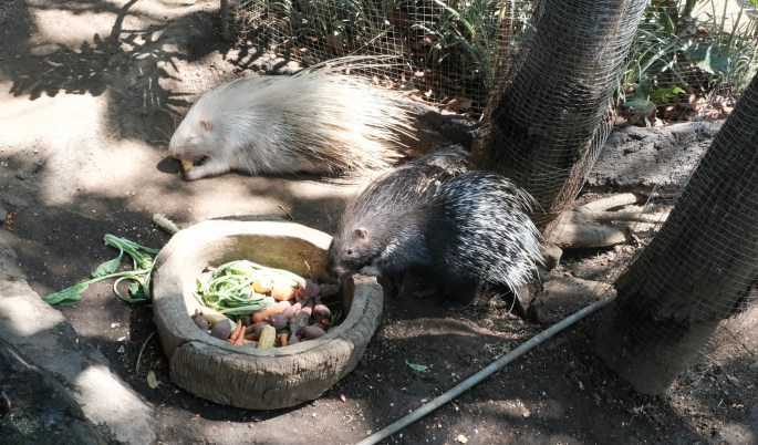 Black and White Porcupines