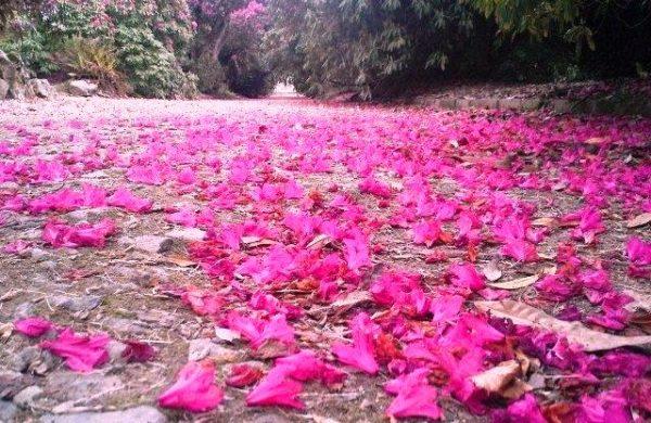 """A carpet of """"Rhodi"""" petals."""
