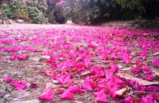 "A carpet of ""Rhodi"" petals."