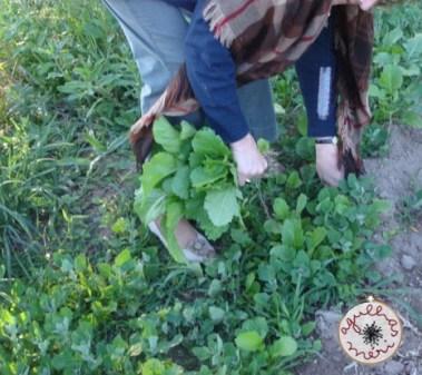 a colher nabiças / reaping turnip greens