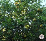 Limoeiros / Lemon tree