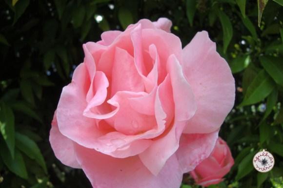 rosa /rose