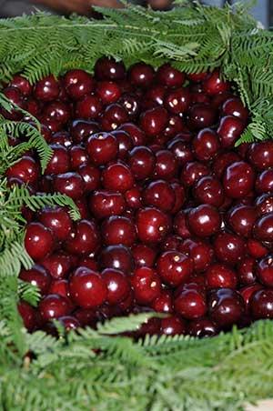 Cherries_cerezas_Valle_del_Jerte_01
