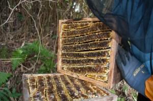 Japanese native honey bee, Honey.