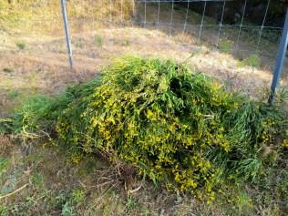 ナルトサワギク 鳴門沢菊 Madagascar groundsel and fireweed