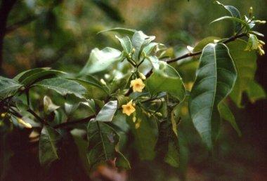 iboga flower