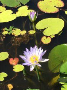 my-amaroo-lotus-pic-14517494_277277812665749_5622798377289600952_n