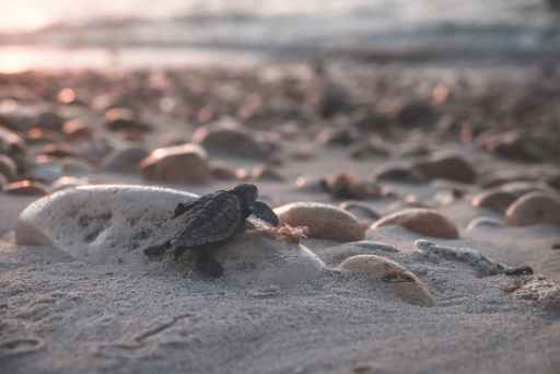 baby turtle crawling on stony coast