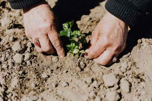 crop photo of person planting seedling in garden soil