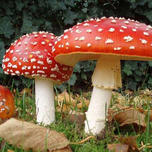 Dried Ornamental Christmas Mushrooms