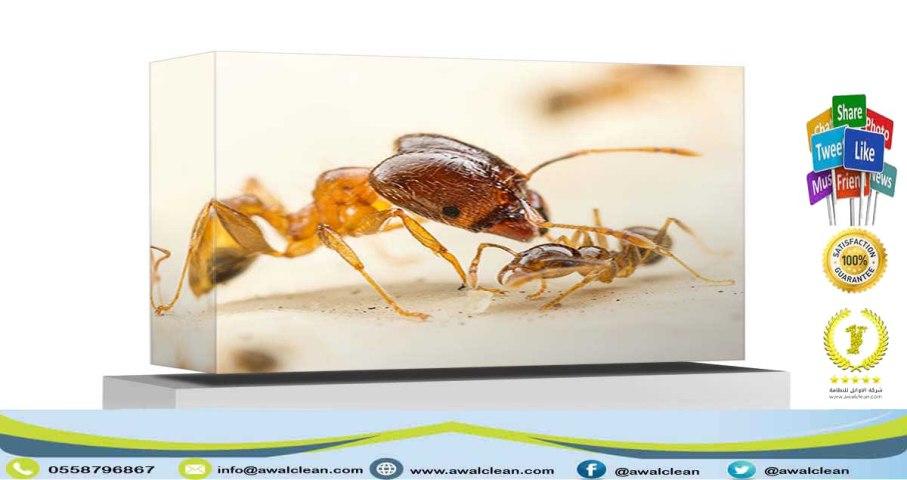 حشرة النمل الابيض