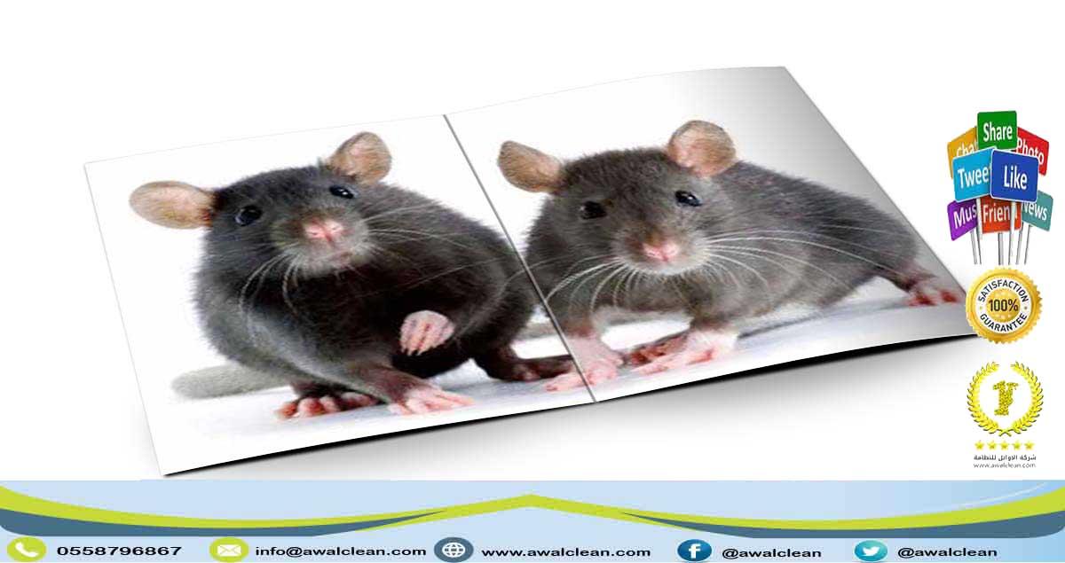 فئران مزعجة