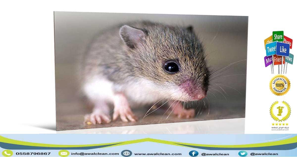 صورة لفأر في المنزل