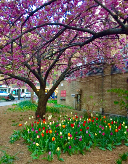 CherryBlossomsandTulips