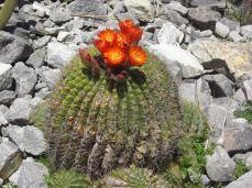 botanic gardens cactus flower