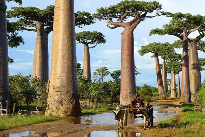 Baobabs of Madagascar