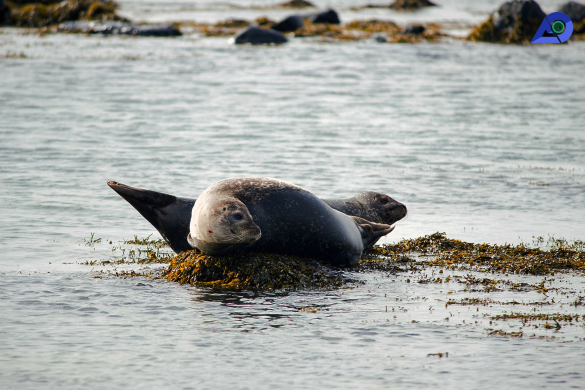 Seals of West Iceland