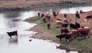 Livestock in a watercourse can lead to bacterial and other contamination -Ontario Soil and Crop Improvement Association photo