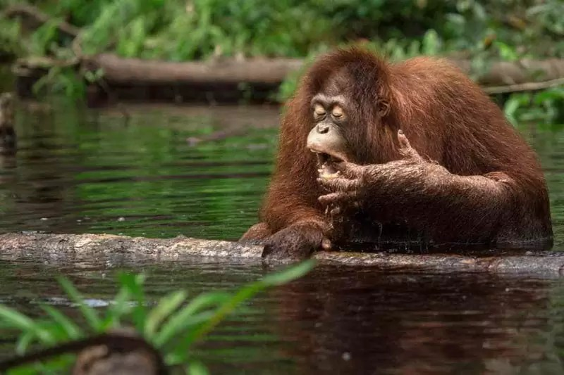 orangutan - 5 Most Awesome Wildlife Destinations in the World