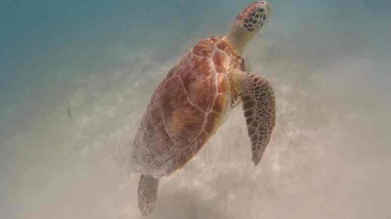 Meeresschildkröte in Akumal