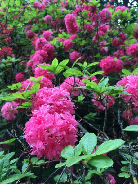Beautiful pink azaleas at Bushy Park