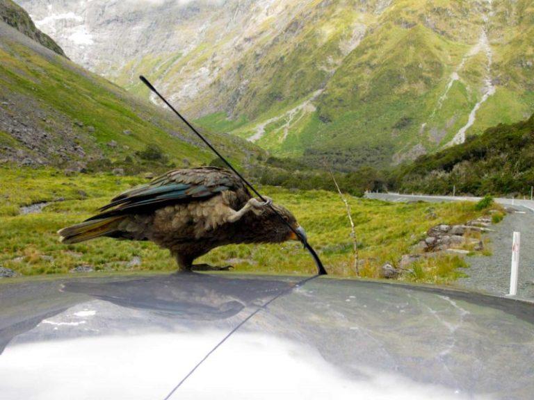 Neuseeland Rundreise Kea
