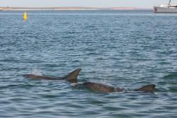 Delfine Monkey Mia Shark Bay1