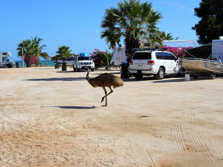 Westaustralien Roadtrip Perth Exmouth Monkey Mia Camping Emu