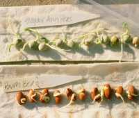 germination testing of seeds
