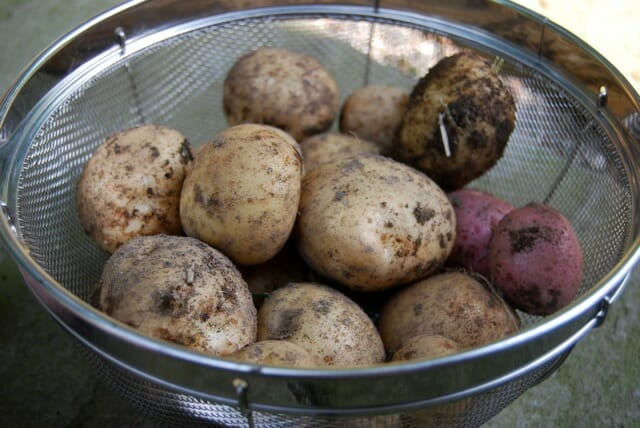 potatoes dug from the garden
