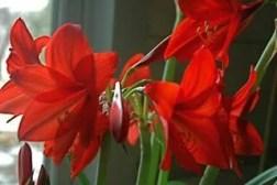 Hippeastrum 'Garden Supreme'