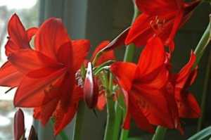 Hippeastrum 'Garden Supreme'