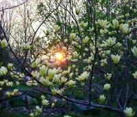 hot p(l)ants: magnolias