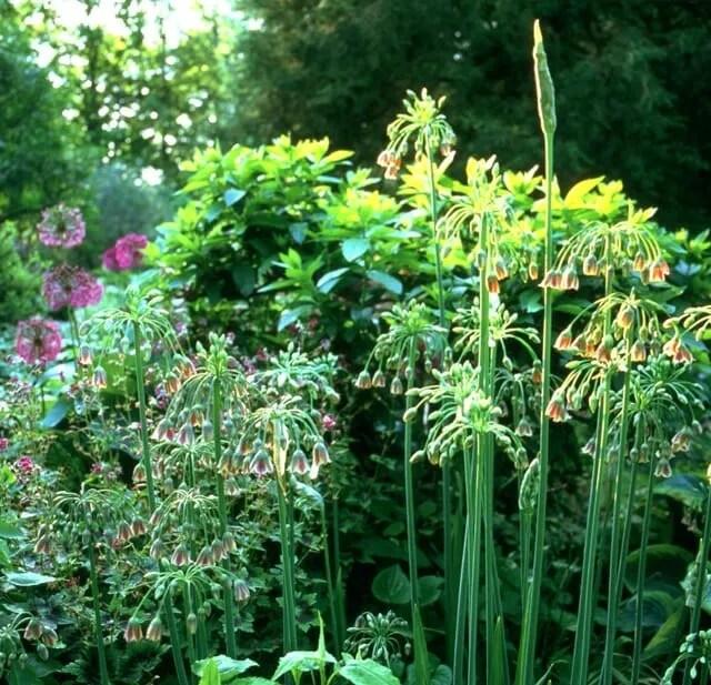 alliums (background) and their cousin nectaroscordum