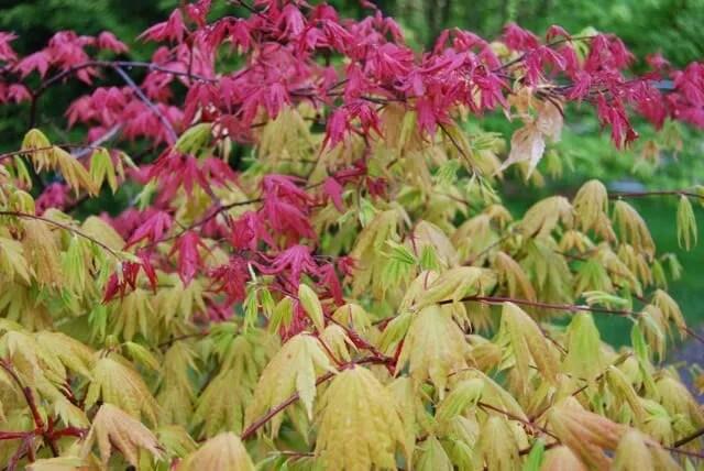japanese-maples