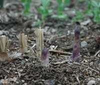 asparagus: an all-male cast