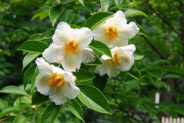 stewartia-blooms