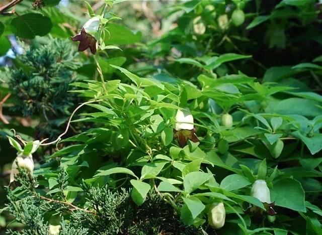 codonopsis-wleaves